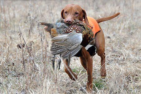 احکام شکار با سگ شکاری چست؟, احکام